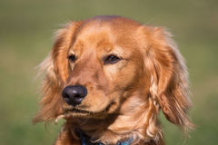 Portret van een cockapoo Royalty-vrije Stock Foto's