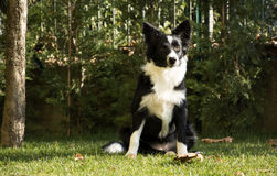 Portret van een Collie van de Grens Royalty-vrije Stock Foto's