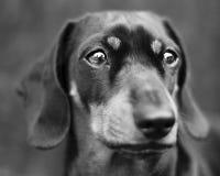Portret van een daschund Stock Foto's
