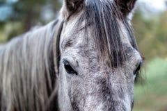 Portret van een donker grijs paard Stock Afbeelding