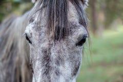 Portret van een donker grijs paard Royalty-vrije Stock Afbeelding