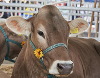 Portret van een donkere en bruine koe in een teugel Stock Foto