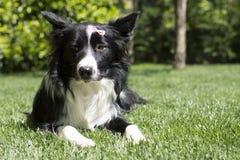 Portret van een droevig border collie-puppy Stock Afbeelding
