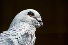Portret van een duif Royalty-vrije Stock Foto's