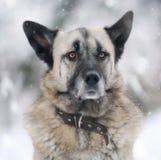 Portret van een Duitse herder Stock Afbeelding