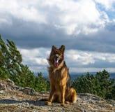 Portret van een Duitse herder Royalty-vrije Stock Foto's