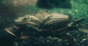 Portret van een dungenesskrab stock videobeelden