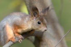 Portret van een eekhoorn Royalty-vrije Stock Afbeelding