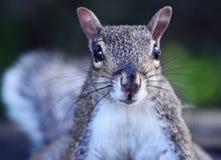 Portret van een eekhoorn in het hout stock fotografie