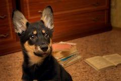 Portret van een eenzame puppyruimte op de achtergrond van boeken stock fotografie