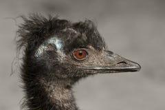 Portret van een emoe royalty-vrije stock afbeelding