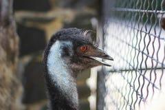 Portret van een Emoe bij een Dierentuin Royalty-vrije Stock Foto