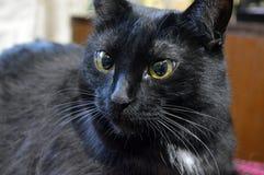 Portret van een ernstig zwart kattenclose-up stock foto's