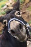Portret van een ezel stock afbeelding