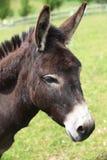 Portret van een ezel. Royalty-vrije Stock Afbeeldingen