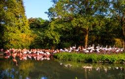 Portret van een flamingo Stock Afbeelding