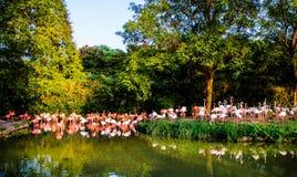 Portret van een flamingo Stock Fotografie