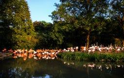 Portret van een flamingo Royalty-vrije Stock Foto's