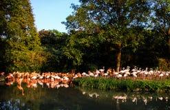 Portret van een flamingo Royalty-vrije Stock Foto