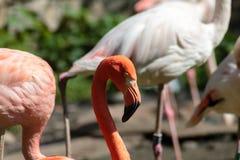 Portret van een flamingo die dichtbij een vijver wandelen Royalty-vrije Stock Foto