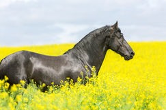 Portret van een friesian paard Royalty-vrije Stock Fotografie