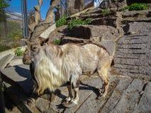 Portret van een gehoornde geit of markhorfalconeriheptneri van Capra stock fotografie