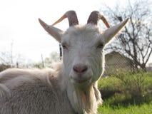Portret van een geit royalty-vrije stock fotografie