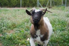 Portret van een geit stock foto