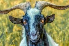 Portret van een geit met oranje ogen royalty-vrije stock afbeeldingen