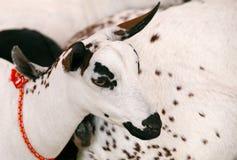 Portret van een geitebok Stock Foto
