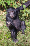 Portret van een Gemeenschappelijke Chimpansee in de wildernis, Afrika Royalty-vrije Stock Afbeeldingen
