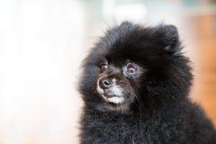 Portret van een gerijpte zwarte Pomeranian-hond Stock Foto's