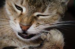 Portret van een gestreepte binnenlandse kat het kraken klauw Royalty-vrije Stock Foto's