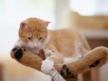 Portret van een gestreepte kat van een rode kleur met een stuk speelgoed Stock Afbeeldingen