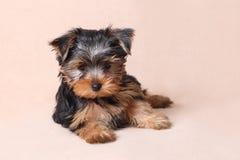 Portret van een gezet puppy Yorkshire Terrier Stock Foto's