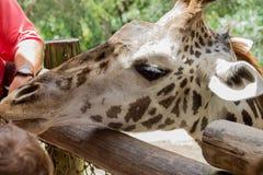 Portret van een Giraf 3 Royalty-vrije Stock Foto