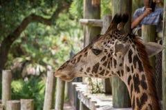 Portret van een Giraf 2 Royalty-vrije Stock Foto