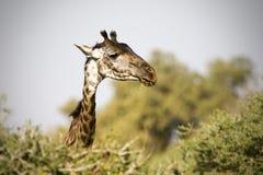 Portret van een giraf Giraffa, Tanzania royalty-vrije stock foto's