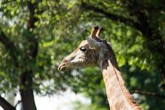 Portret van een giraf op de achtergrond van bomen Royalty-vrije Stock Foto's