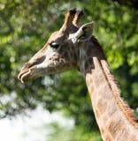 Portret van een giraf op de achtergrond van bomen Royalty-vrije Stock Afbeelding