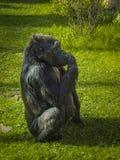 Portret van een gorilla of een duidelijke gorilla, een de Gorillagorilla van de kustgorilla stock fotografie