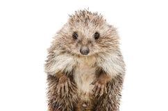 Portret van een grappige egel die zich op zijn achterste benen bevinden Stock Fotografie