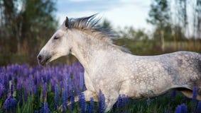 Portret van een grijs paard onder lupinebloemen Stock Fotografie