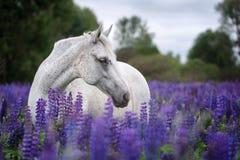 Portret van een grijs paard onder lupinebloemen Stock Foto's