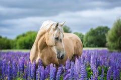 Portret van een grijs paard onder lupinebloemen Royalty-vrije Stock Afbeelding