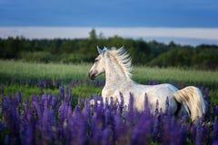 Portret van een grijs paard onder lupinebloemen Royalty-vrije Stock Foto
