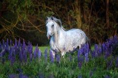 Portret van een grijs paard onder lupinebloemen Stock Foto