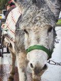 Portret van een grijze ezel stock foto's