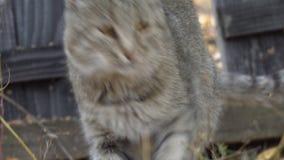 Portret van een grijze kat stock videobeelden