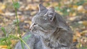 Portret van een grijze kat stock footage